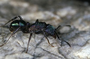 Green-head ant (Rhytidoponera metallica)