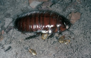 Giant burrowing cockroach, adult and nymphs