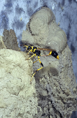 A female mud dauber wasp, Sceliphron laetum, added the final layer of the mud to the outside of her nest.