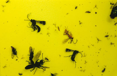 Specimens caught in yellow pan