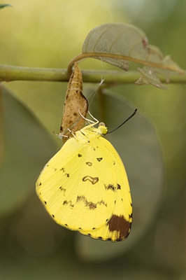 Newly emerged Common grass yellow butterfly, Eurema hecabe