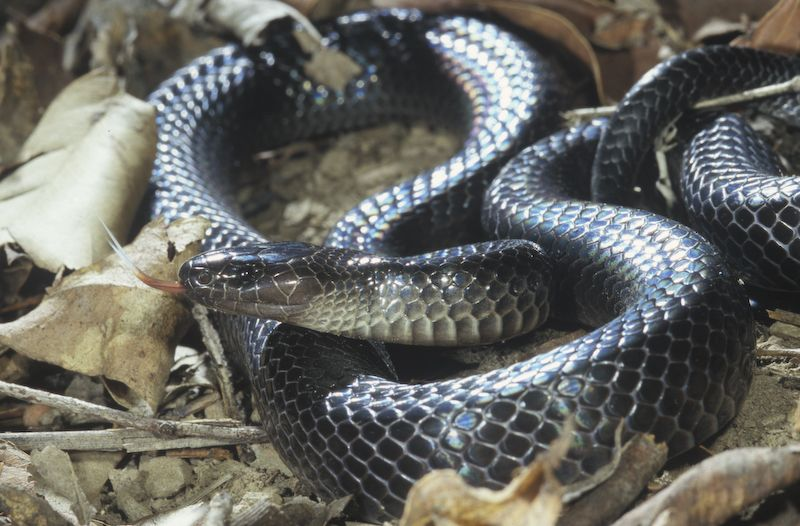 Small-eyed Snake (Cryptophis nigrescens)
