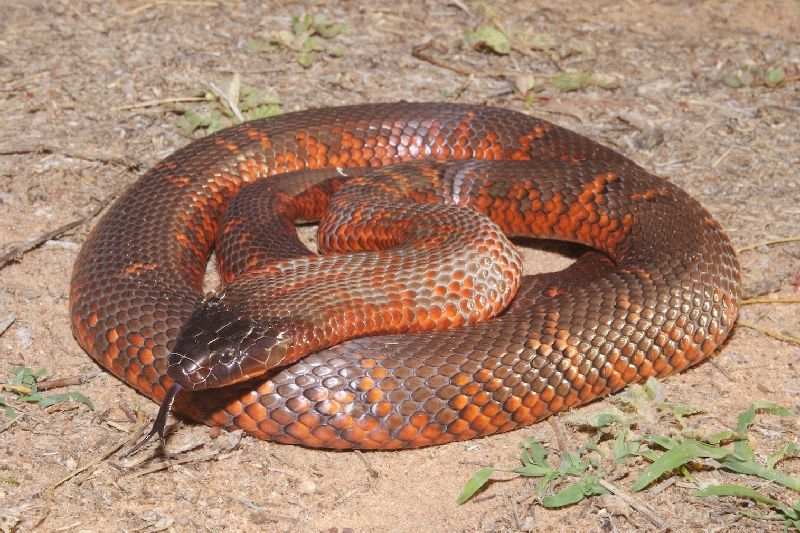 Black Snake (Pseudechis colletti)