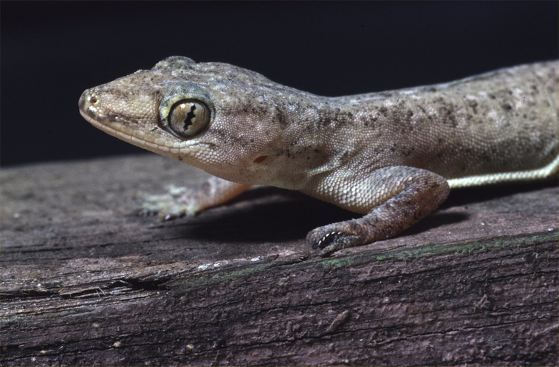 Asian House Gecko, Hemidactylus frenatus