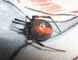 Redback Spider, Theridiidae, Latrodectus hasseltii, female