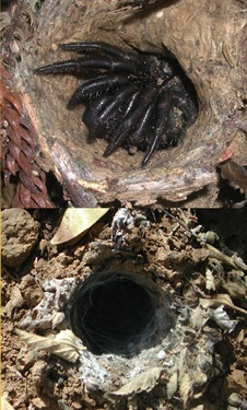 Trapdoor spider, Idiopidae,burrow entrance