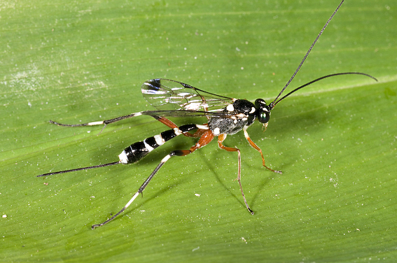 A female ichneumon wasp, Leptobatopsis indica. The long tube protruding from the tip of the abdomen in an ovipositor, which is used to insert eggs into the body of a moth caterpillar.