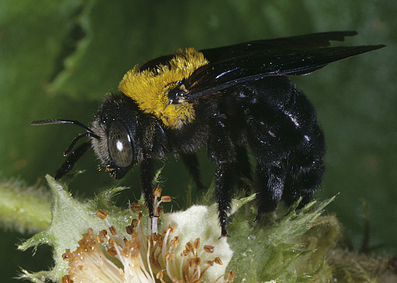 Carpenter bee, Xylocopa aruana, on a flower