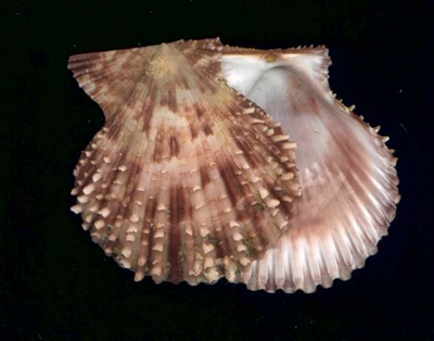 Glory Scallop (Mimachlamys gloriosa, length 60-70mm) is a common bivalve species in Moreton Bay, southern Queensland.