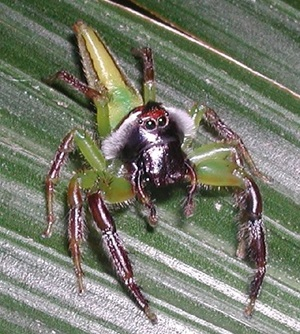 Monkey-faced Jumping Spider, Salticidae, Mopsus mormon, male
