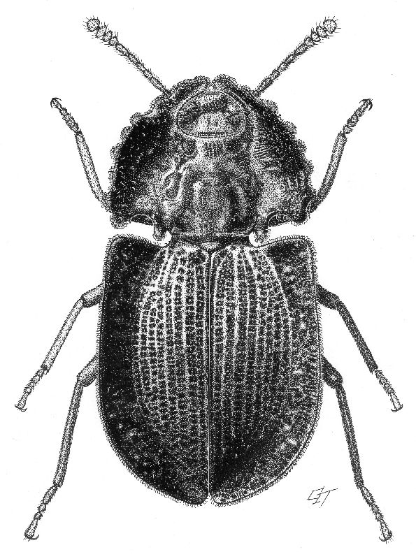 Aoupinia pseudohelea</em> Matthews, 2003 [Coleoptera: Tenebrionidae] Ink on scraperboard by Geoff Thompson.