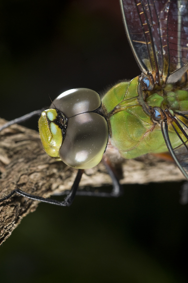 Most dragonflies have large eye that touch at the top of the head. These give them almost 360 degree vision.