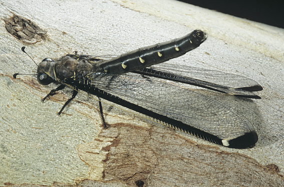 Stilbopteryx walkeri (Stilbopterygidae)