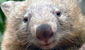 Tonka the bare-nosed wombat